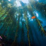 Palos Verdes Reef Restoration
